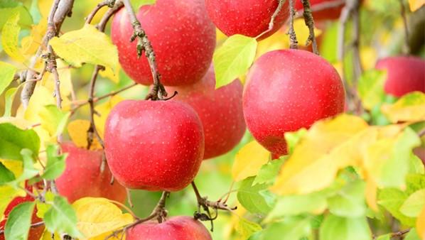 蘋果果實幹細胞